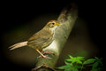 Puff throated babbler or spotted pellorneum ruficeps act on the wood Stock Image