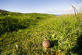 Puffball growing in the field Royalty Free Stock Photo