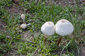 Puffball mushrooms of borneo these textured that look like lampshades are the variety and are found in malaysian Stock Image