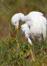 Puffed up Cattle Egret Royalty Free Stock Photography