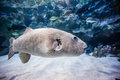 Puffer fish in tank view of a big aquarium Royalty Free Stock Photo
