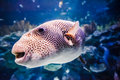 Puffer fish in tank view of a big aquarium Stock Photo