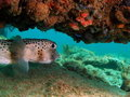 Puffer Fish under Coral Royalty Free Stock Photo