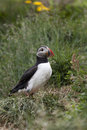 Puffin Stock Images