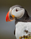 Puffin Stock Photos