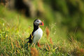 Puffin Stock Photography
