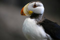 Puffin in Alaska Royalty Free Stock Photo