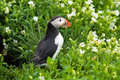 Puffin amongst flowers Royalty Free Stock Photo