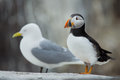 Puffin with in the background a kittewake Royalty Free Stock Photography
