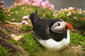 Puffin Bird In The Grass