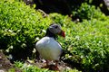 stock image of  Puffin in south Ireland