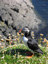 Puffin on cliff Stock Image