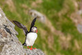 Puffin a cliff with spread wings Stock Images