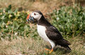 Puffin feeding Stock Image