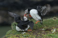 Puffin Fighting