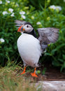 Puffin flapping Stock Photo