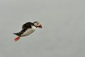 Puffin in flight atlantic iceland Royalty Free Stock Images