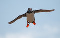 Puffin flying with sandeels Royalty Free Stock Photography