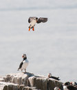 Puffin flying on way to land Stock Photography