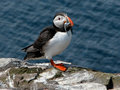 Puffin (Fratercula arctica) Royalty Free Stock Photo