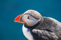 Puffin fratercula arctica against a blue background west fjords in the iceland Stock Image