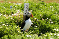 Puffin in grass with spring flowers Royalty Free Stock Photo