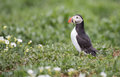 Puffin between green at innerfarne Royalty Free Stock Images