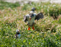 Puffin landing an coming in to land on the farne islands Royalty Free Stock Photos
