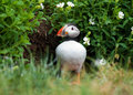 Puffin near burrow Royalty Free Stock Photo