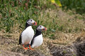 Puffin pair stands on grassy slope in wild Iceland
