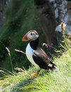 A puffin ponders Stock Photography