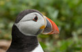 Puffin portrait at a green background Royalty Free Stock Image