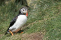 Puffin portrait in natural enviroment on green grass background Royalty Free Stock Photography