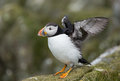 Puffin pufiin on the farne islands Stock Image