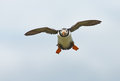 Puffin pufiin in flight on the farne islands Royalty Free Stock Photography