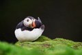 Puffin resting in the rain on Skomer Island, Wales Royalty Free Stock Images