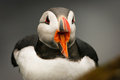 Puffin on the rock, Iceland Royalty Free Stock Image