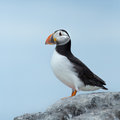 Puffin on a rock at innerfarne Stock Photo