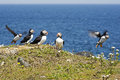 Puffin seabirds in the north atlantic ocean elliston newfoundland canada Stock Photos