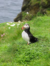 Puffin in Shetland Stock Photo