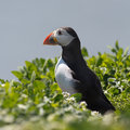 Puffin sits on green grass Stock Photo