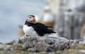 Puffin sits on the rocks Royalty Free Stock Photo