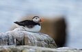 Puffin sits on the rocks Stock Photography