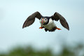 Puffin stand in flight at a blue sky Stock Images