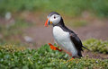 Puffin stand on the move Royalty Free Stock Image