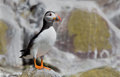 Puffin stand on the rocks Stock Photos