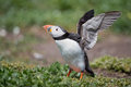 Puffin stand stretches his wings Stock Photos
