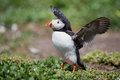 Puffin stand stretches his wings Royalty Free Stock Photo