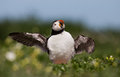 Puffin stand stretches his wings Stock Images