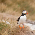 Puffin standing for attention Stock Photography